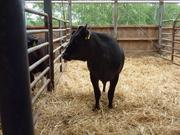 黒牛の写真