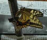 羽化したアゲハ蝶の写真